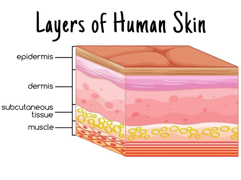 Layers of Human Skin with Dermis and Epidermis